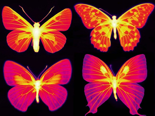 Six butterflies shown in infrared wavelengths of purple and pink colors