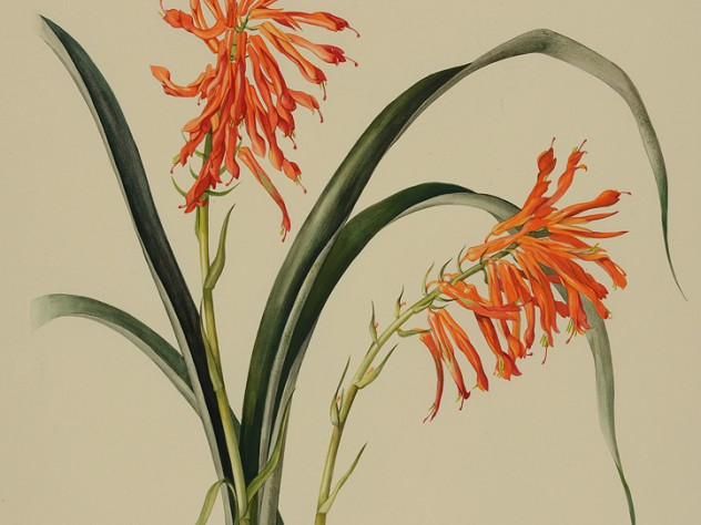 Margaret Mee painting of the bromeliad Pitcairnia flammea
