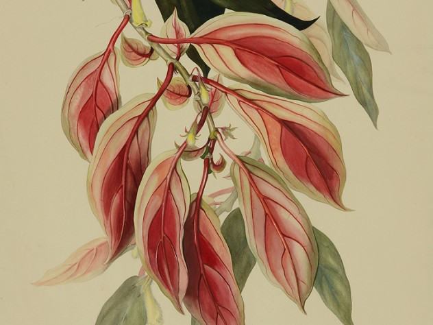 Margaret Mee painting of Nematanthus fluminensis